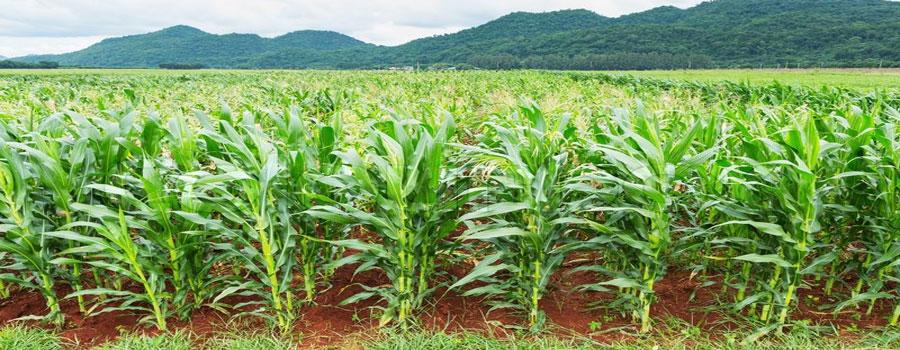 maize_farm